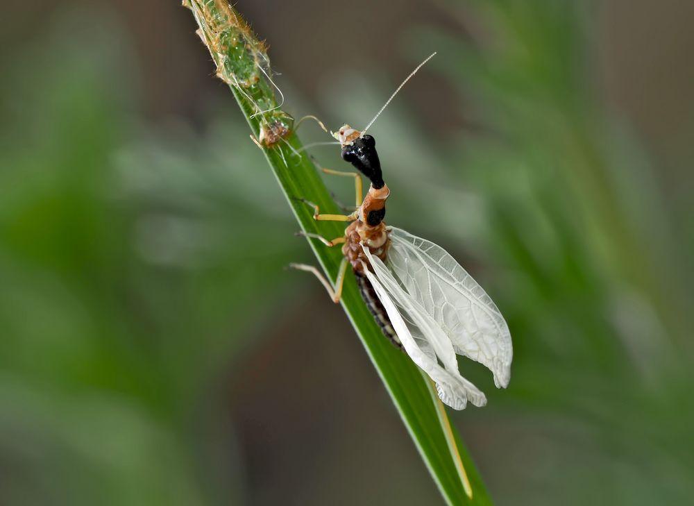 5. Kamelhalsfliege (Raphidia sp.): Metamorphose! Aufnahme 30 Minuten nach dem 1. Foto.