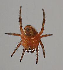 5 mm Spinne