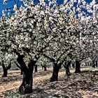 528....cerisiers en fleur