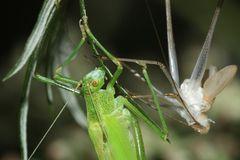 (6) Die Gemeine Sichelschrecke (Phaneroptera falcata)
