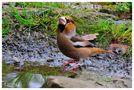 --- Kernbeißer beim Durst löschen --- von Wolfgang Zerbst - Naturfoto