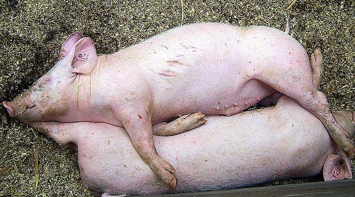 69 - Ferkelei im Schweinestall