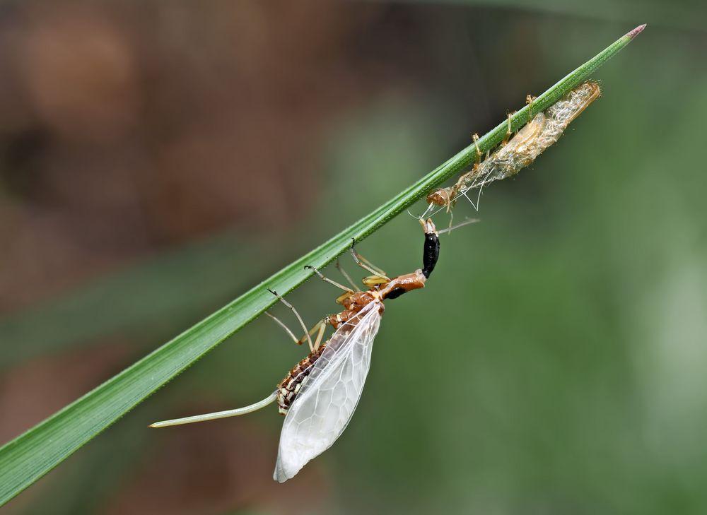 7. Kamelhalsfliege (Raphidia sp.): Metamorphose! Aufnahme 45 Minuten nach dem 1. Foto.