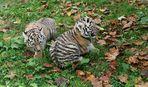 7 wochen alte sibirischen Tiger