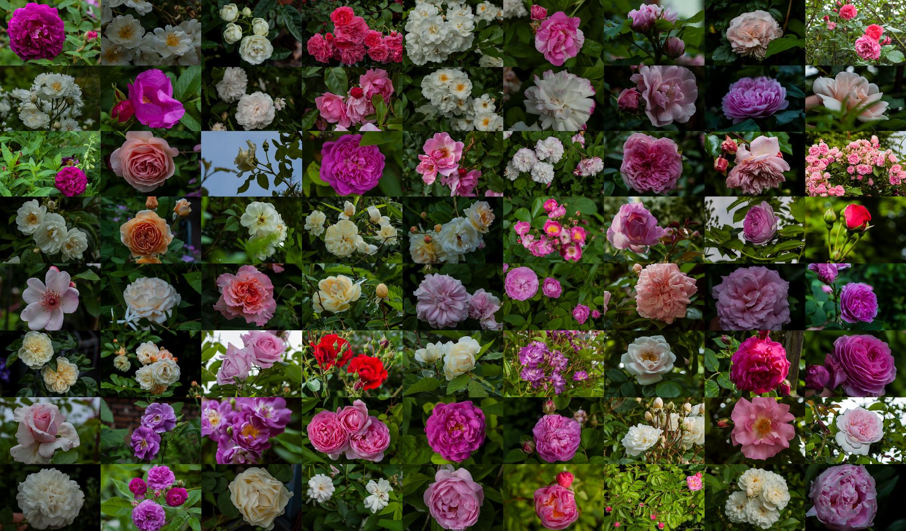 72 Rosenblüten in unserem Garten am 2. Juni 2018
