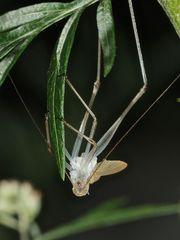 (8) Die Gemeine Sichelschrecke (Phaneroptera falcata)