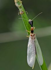 8. Kamelhalsfliege (Raphidia sp.): Metamorphose! Aufnahme 55 Minuten nach dem 1. Foto.