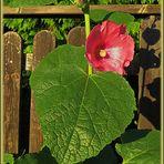 8 Uhr Morgensonne : für Stockrose am/durch Gartenzaun