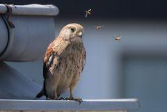 810_0534 Turmfalke(Falco tinnunculus)