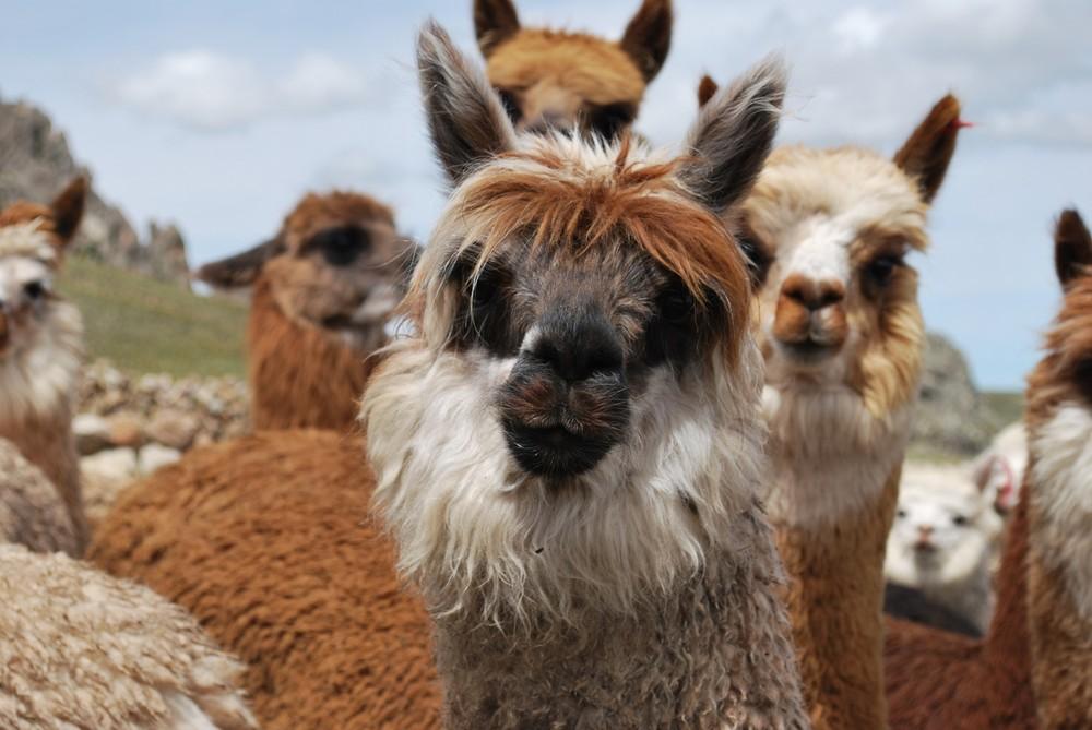 A beautiful alpaca, Puno, Peru