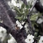 a Bee in Blossoms