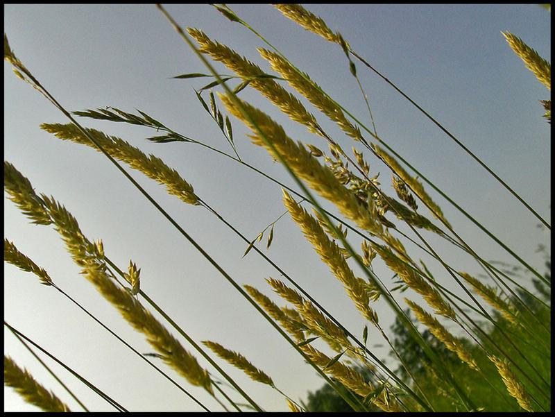A Bent Grass