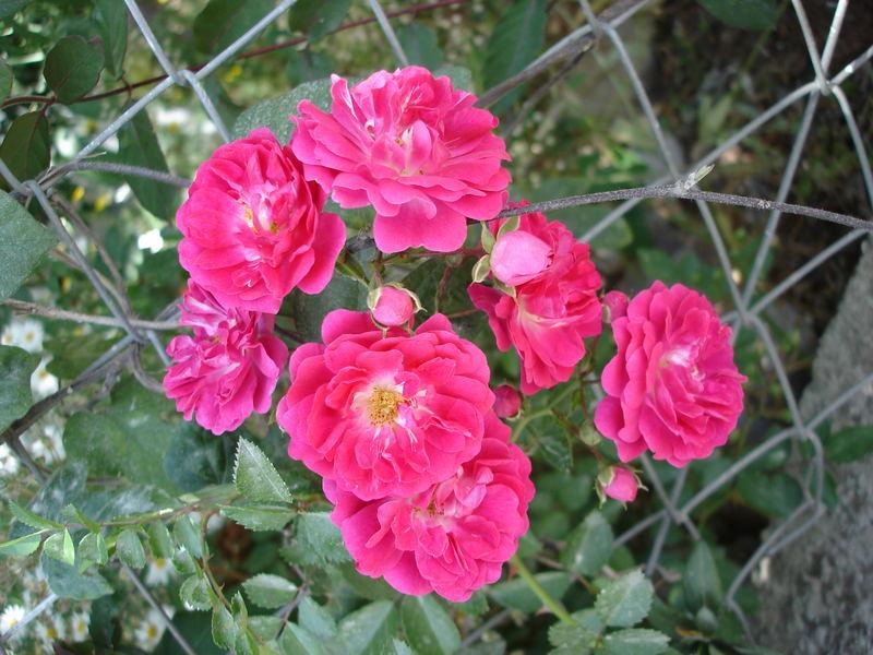 A bunch of roses in garden