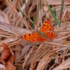 A Comma Butterfly  (Polygonis c-album)