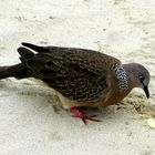 A common dove sharing my lunch on Patong Beach. Thailand. Message inside.