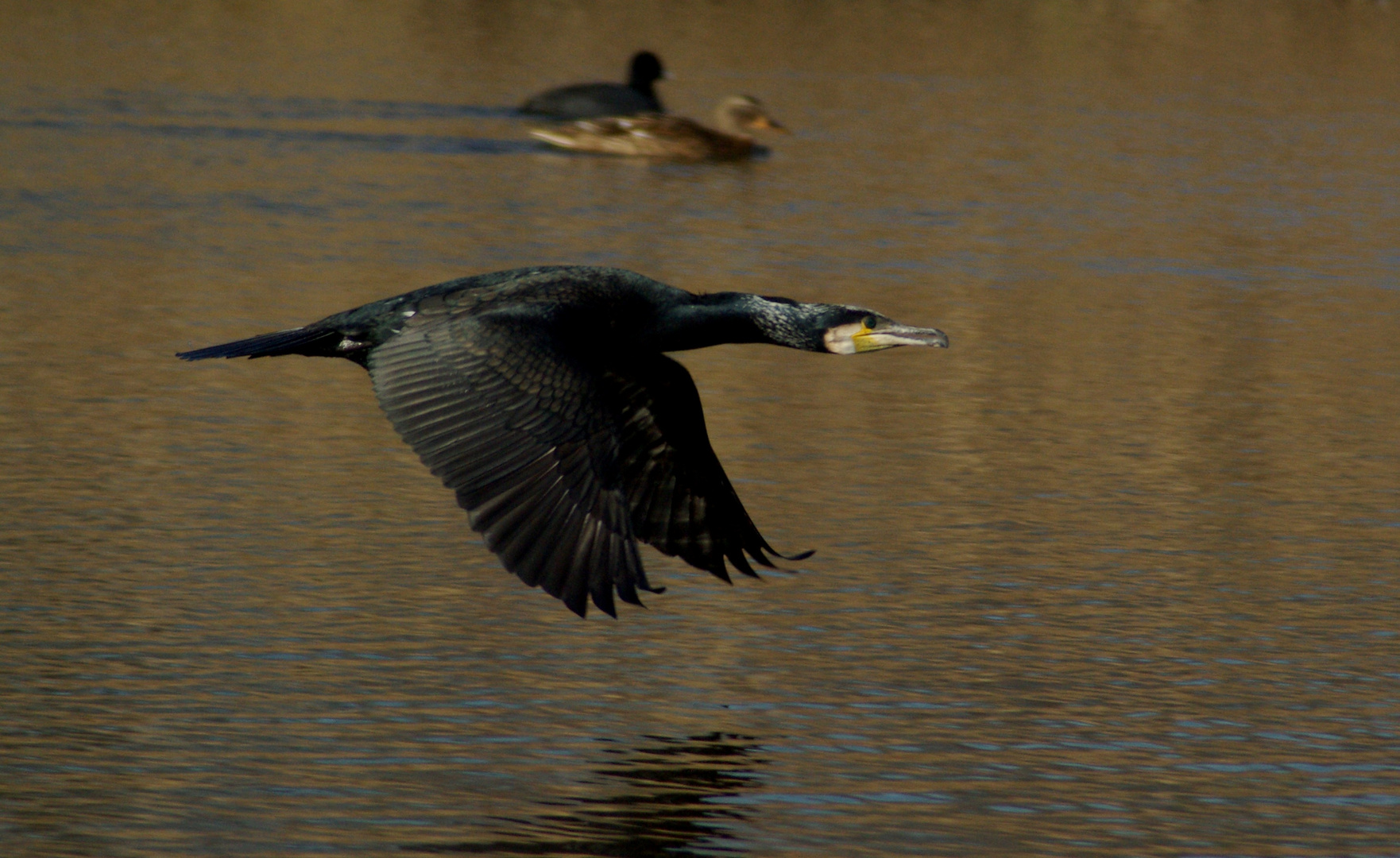 A Cormorant!