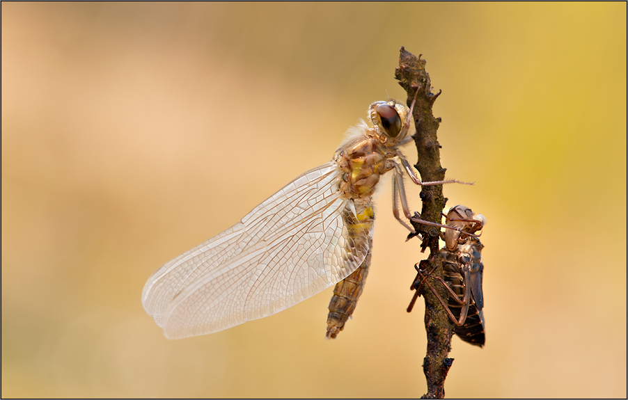 a dragonfly begins to live