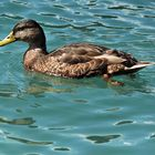 A duck in a turquoise blue water