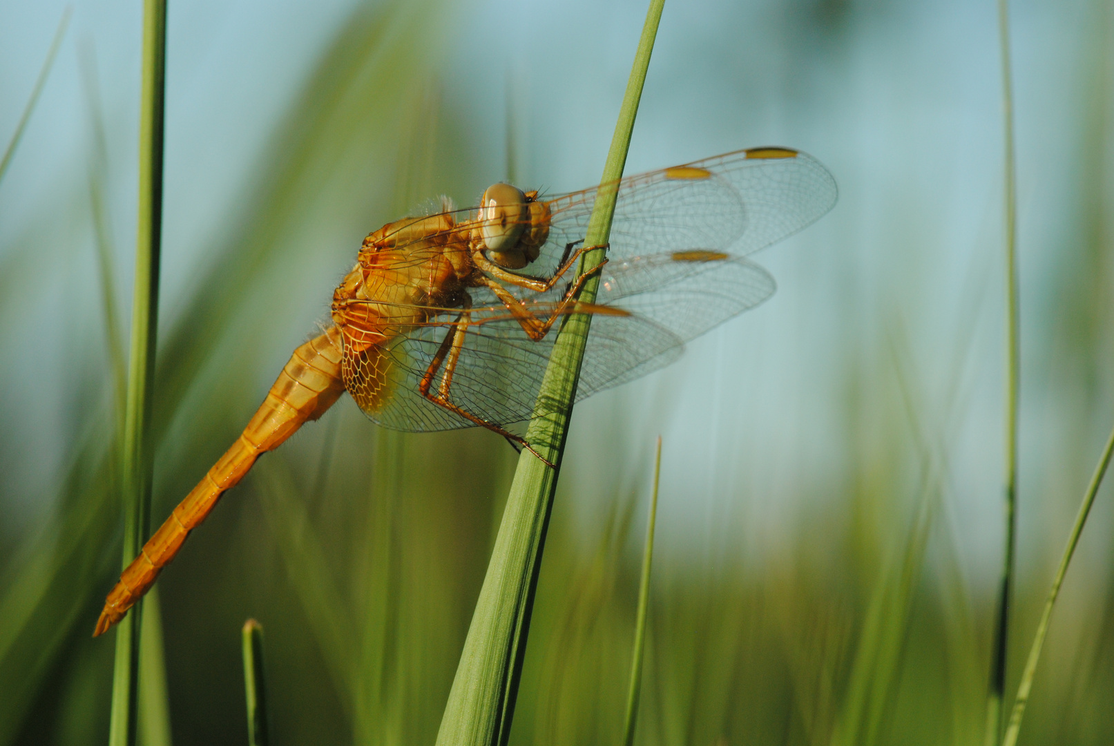 ~ A Flamy Ride In The Forest Of Grass ~ (Crocothemis erythraea, m)