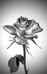a full- bloom rose