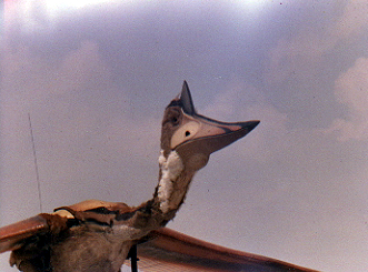 A full-size flying model of a Pterodactyl