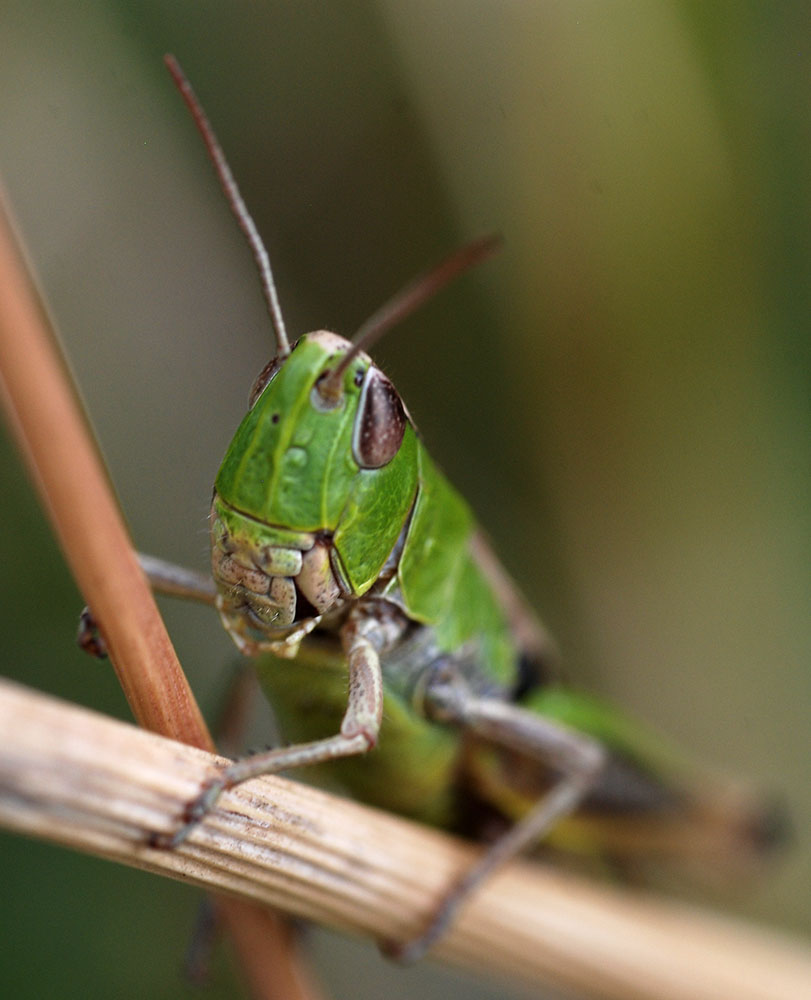 A grasshopper 2