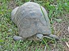 A Greek Land Turtle in Kerameikos