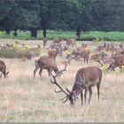 A herd of deer in Richmond Park