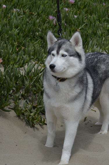 A husky I shot while driving up the coast of CA