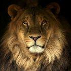 a lion portrait