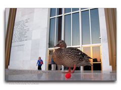 A Little Duck before the Concert?