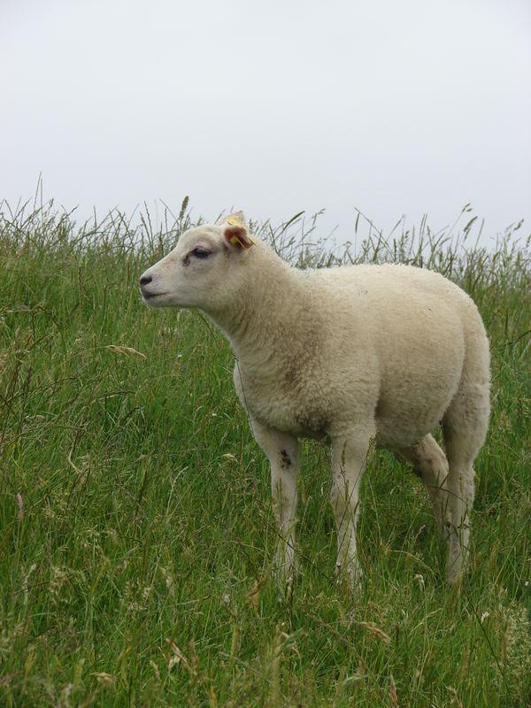 a little sheep