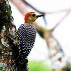 A little woodpecker