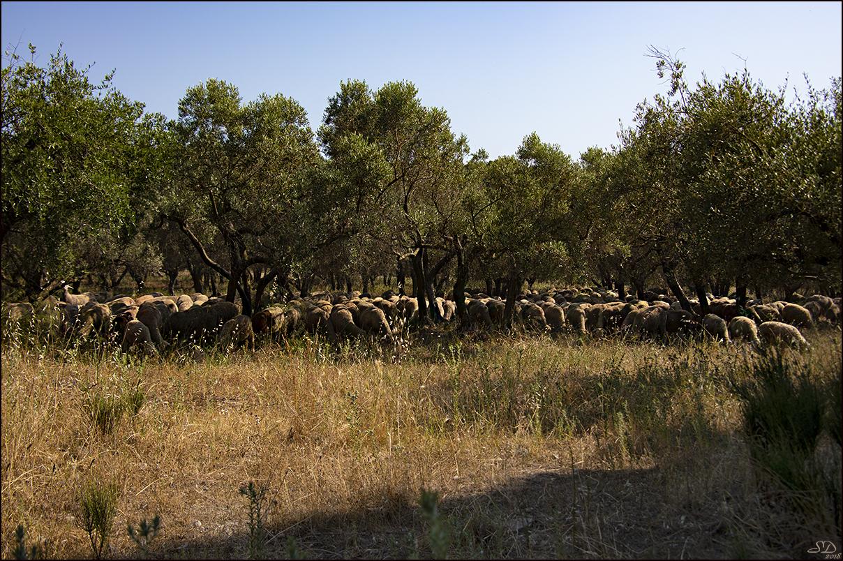 A l'ombre des  oliviers.