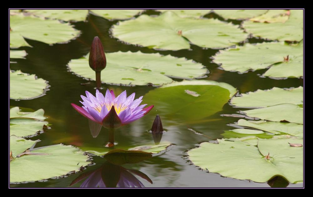 A Lotus Farewell