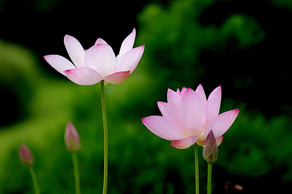 a lotus flower IV