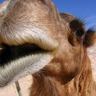 A nice picture of a camel