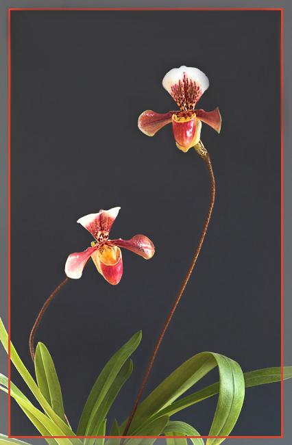 ...a Paar Frauenschuh (Orchidee)