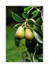 a pair of pears in the garden of Luzie