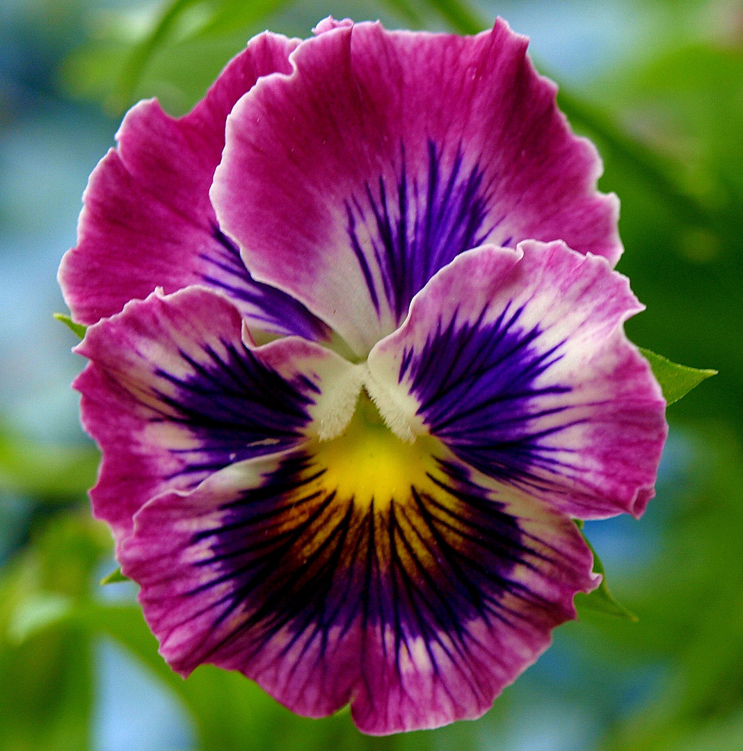 A Perfect Pansy.