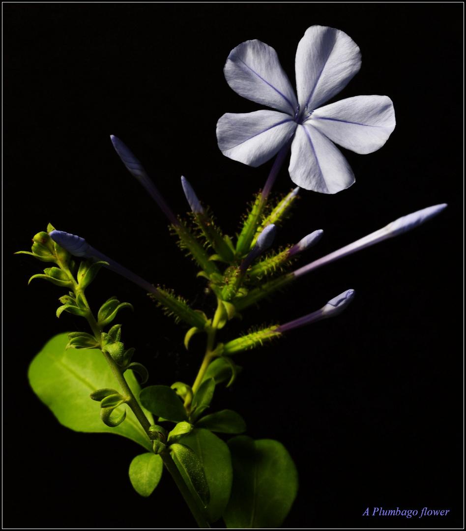 A Plumbago flower