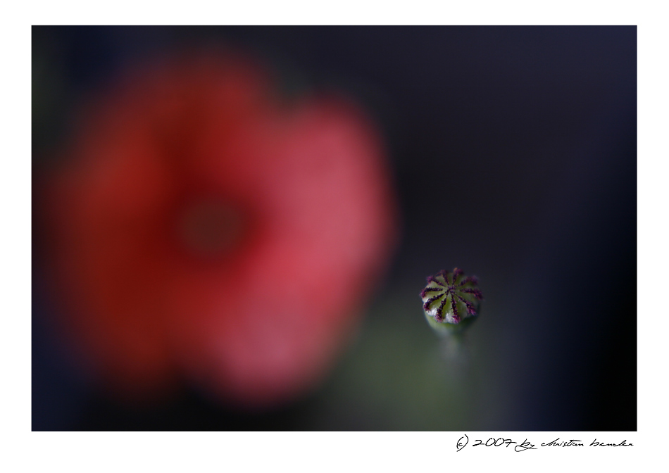 a poppy - a different view