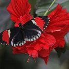 A Postman Butterfly  (Heliconius melpomene)