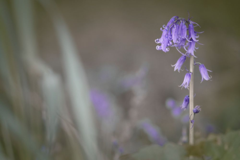 a rainy day and the bluebells