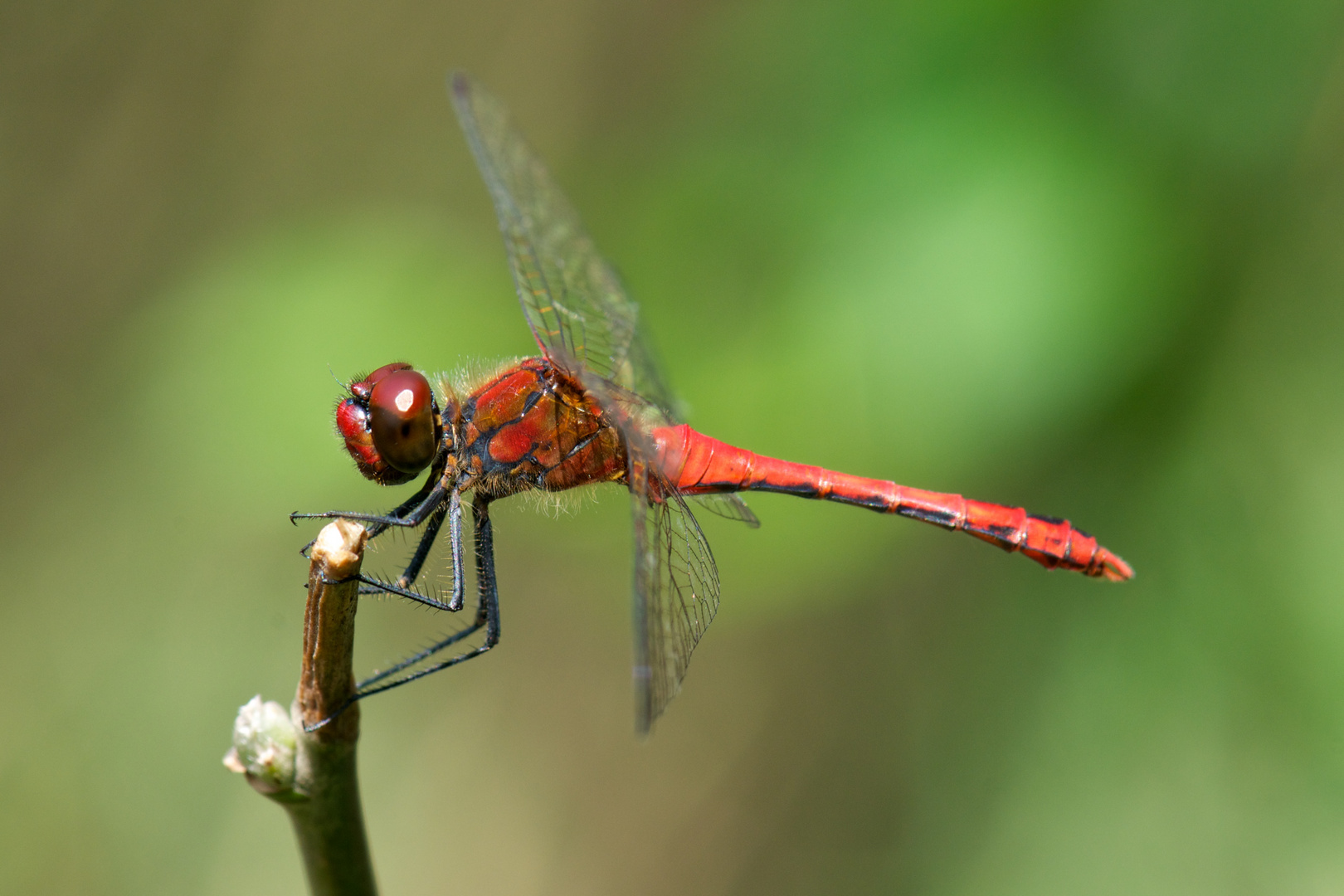 a red dragonfly looks into my lens...