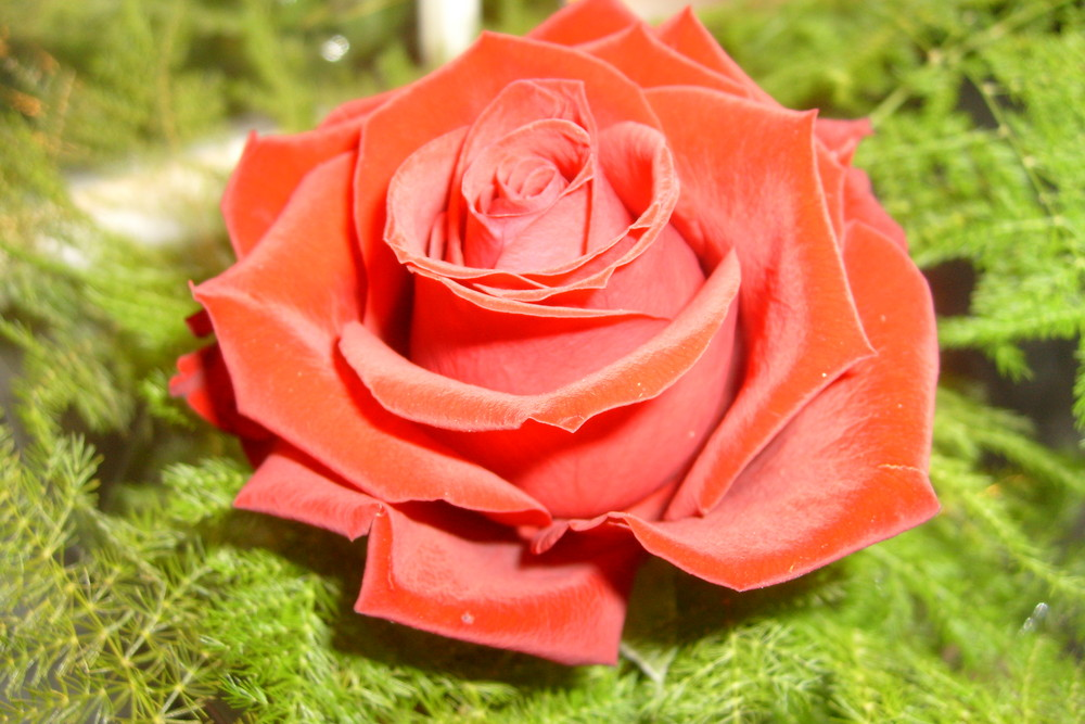 ~a red rose for you...~
