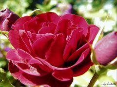 A rosa de Isabella