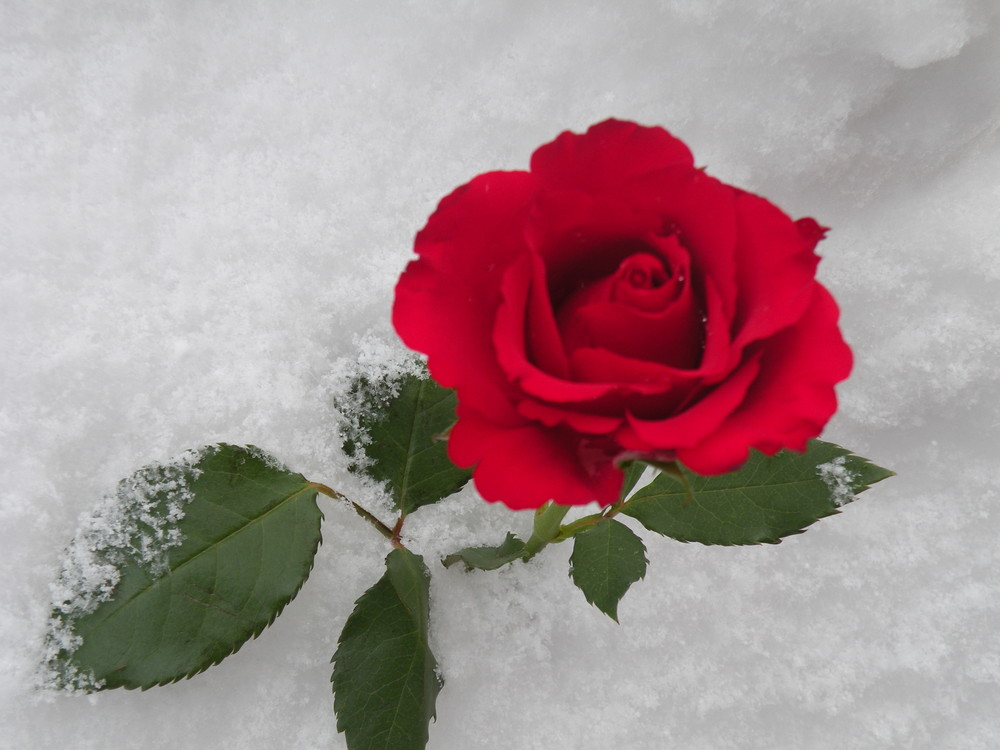 A Rose Amidst the Snow