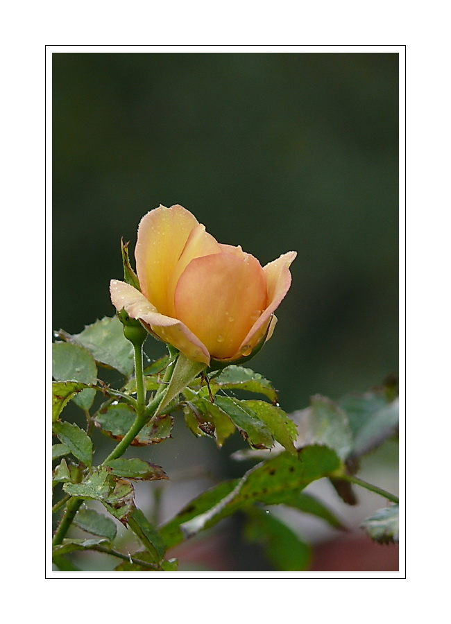 a Rose is a Rose 03