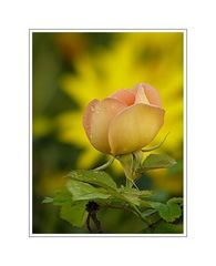 a Rose is a Rose 05